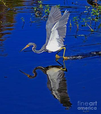 Tri-color Heron Water Ski Art Print by Larry Nieland