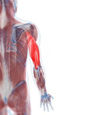 Human Joint Digital Art - Triceps Muscle, Artwork by Sciepro