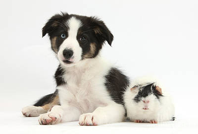Tricolor Border Collie Pup And Guinea Print by Mark Taylor