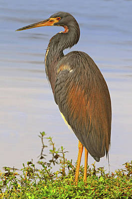 Tricolor Heron Print by Dave Mills