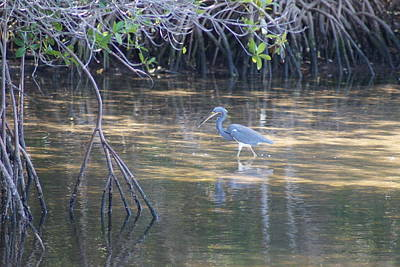 Photograph - Tricolored Heron 1 by Joe Faherty