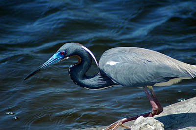 Photograph - Tricolored Heron by David Weeks