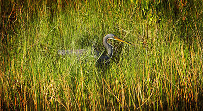 Photograph - Tricolored Heron by Rich Franco