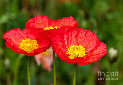 Photograph - Trio Of Red Poppies by Fran Woods