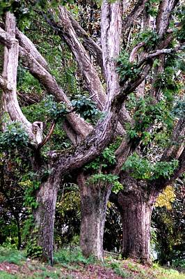 Triplet Trees Art Print by Beverly Hammond