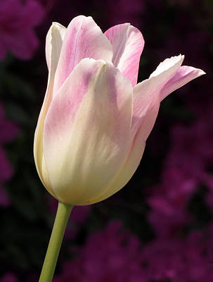 Triumph Shirley Tulip Art Print by Darleen Stry