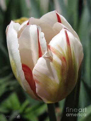 Jem Fine Arts Photograph - Triumph Tulip Named Carnaval De Rio by J McCombie
