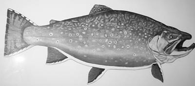 Brook Trout Drawing - Trophy Brook Trout by Quinton Chapman