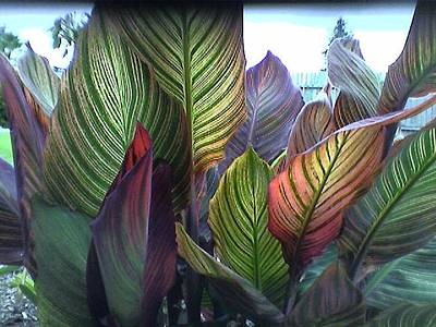Canna Photograph - Tropical Canna Leaves by D J Larsen