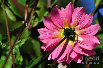 Of Dahlia Photograph - 'tropical' Dahlia by Kaye Menner