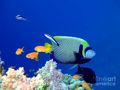 Animals Photos - Tropical fish Angelfish  by MotHaiBaPhoto Prints