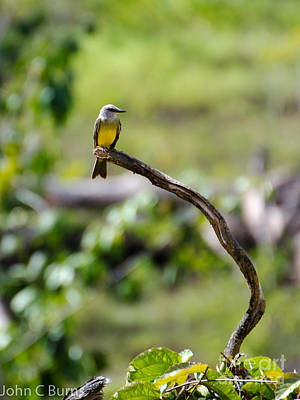 Photograph - Tropical Kingbird by John Burns