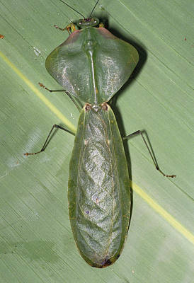 Forest Floor Photograph - Tropical Shield Mantis by Dr George Beccaloni