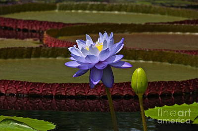 Tropical Water Lilies Art Print by Byron Varvarigos