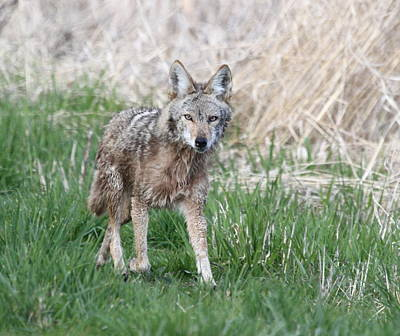 Photograph - Trotting Coyote by Angie Vogel