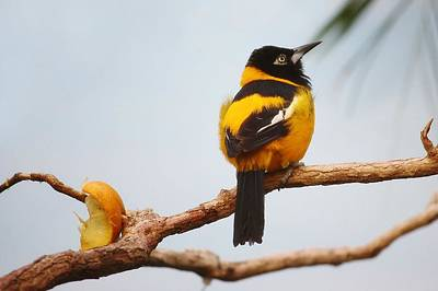 Troupial Bird Print by Paulette Thomas