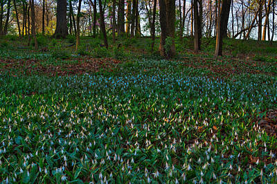 Lilies Royalty-Free and Rights-Managed Images - Trout Lilies on Forest Floor by Steve Gadomski