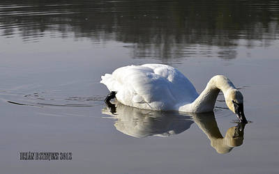 Art Print featuring the photograph Trumpeter Swan by Brian Stevens