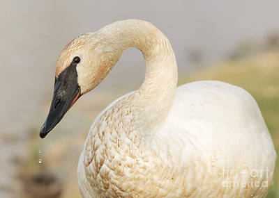 Achieving Royalty Free Images - Trumpeter Swan Royalty-Free Image by Doug Herr