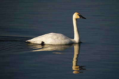 Photograph - Trumpeter Swan by Steve Stuller
