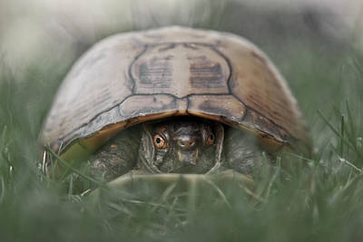 Box Turtle Photograph - Trutle Emerges From It's Shell by Christopher Kimmel