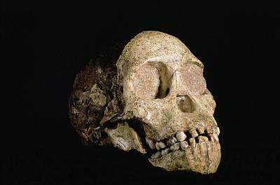 Chimpanzee Taxonomy Australopithecus Afric...