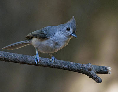 Tufted Titmouse Photograph - Tufted Titmouse by Don Wolf