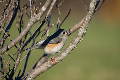 Photograph - Tufted Titmouse by Steve Stuller