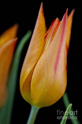 Tulip -5 Art Print