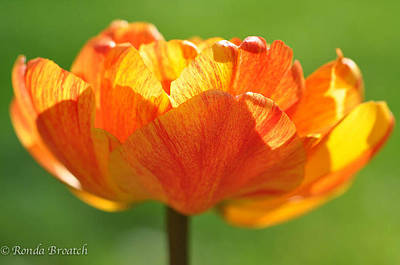 Art Print featuring the photograph Tulip Afire by Ronda Broatch