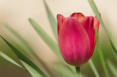 Tulip Art Print by Alessandro Matarazzo