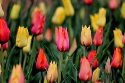 Tulips Photograph - Tulip Blanket by Rosanne Jordan