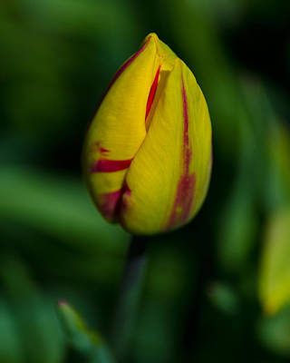 Photograph - Tulip Bud by Tikvah's Hope