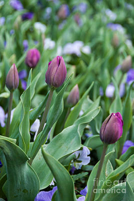 Photograph - Tulip Buds by Fran Woods