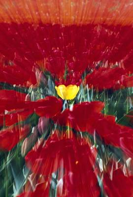 Mass Effect Photograph - Tulip Field Zoom Effect by Natural Selection Craig Tuttle