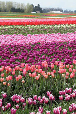 Photograph - Tulip Flower Field by Pierre Leclerc Photography