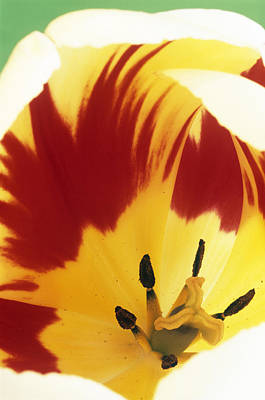 Burning Heart Wall Art - Photograph - Tulip Flower (tulipa 'burning Heart') by Archie Young