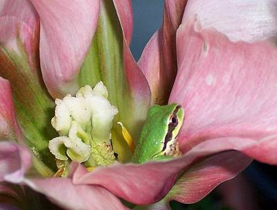 Tulip Frog Art Print