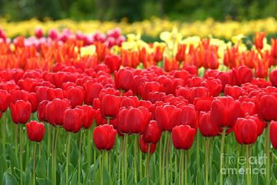 Tulip Garden Art Print by B S Karan