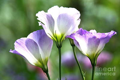 Photograph - Tulip Gentian Flowers by Byron Varvarigos