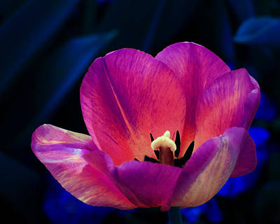 Photograph - Tulip In Moonlight by Francesa Miller