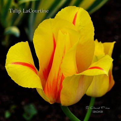Photograph - Tulip Lacourtine by Ansel Price