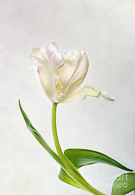 Violet Bloom Photograph - Tulip by Nailia Schwarz