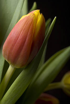 Tulip On Black Art Print by Al Hurley
