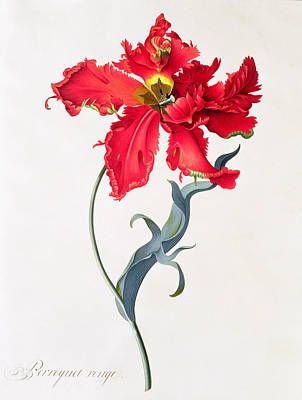 Red Tulip Painting - Tulip Perroquet Rouge by Georg Dionysius Ehret