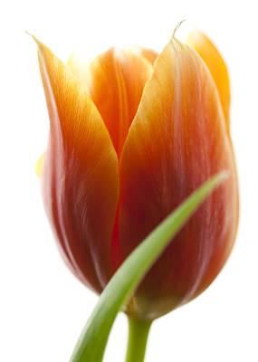 Tulip Picture Art Print by Falko Follert