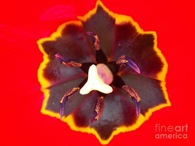 Photograph - Tulip Red by Judy Via-Wolff