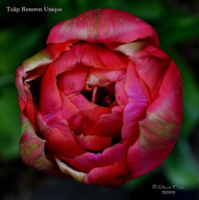 Photograph - Tulip Renown Unique by Ansel Price