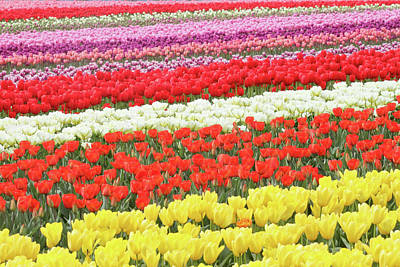 Photograph - Tulip Town In Mount Vernon by Pierre Leclerc Photography