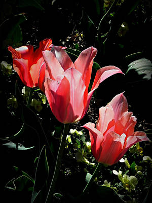Wall Art - Photograph - Tulip Translucency by Mickey Murphy